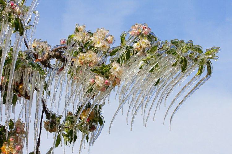 Frozen art by nature, apple tree