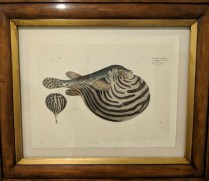 "**ITEM NOW SOLD** Trowbridge framed print of Nile Puffer fish. Numbered edition, 6 years old. Handcrafted frame. 27""w x 22.5""h. Orig. List: $450. Modele's Price: 250.-"
