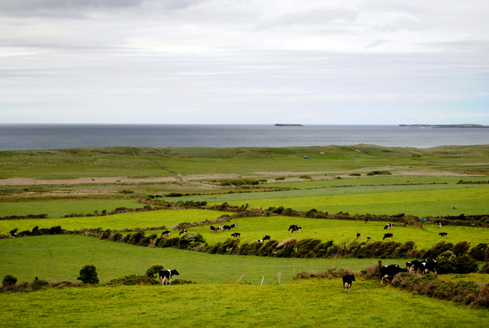 Kerry Gold Cows, Ireland driving tour sightseeing
