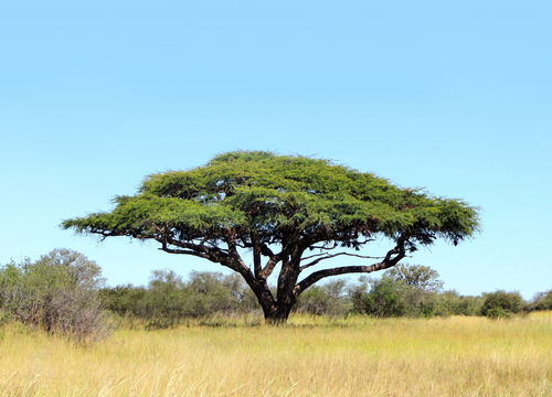 Beautiful African Tree on plain