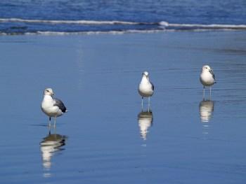 seagulss