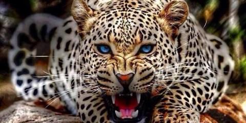 19leopard