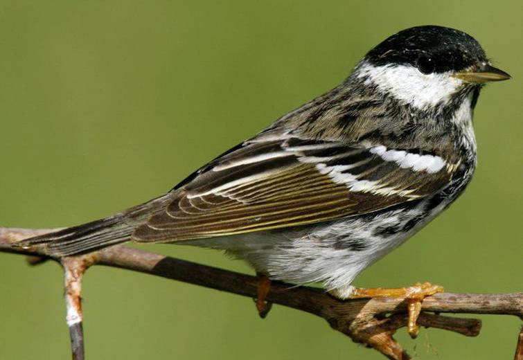 BlackpollWarbler