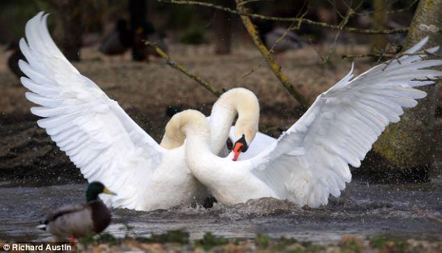 swanfight