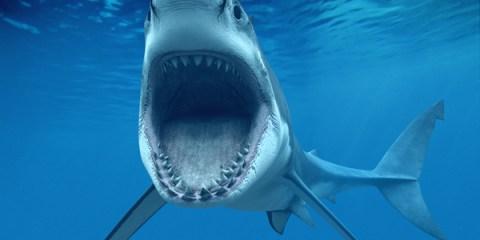 Woodridge, IL, USA --- Great White Shark Opening Mouth --- Image by © Denis Scott/Corbis