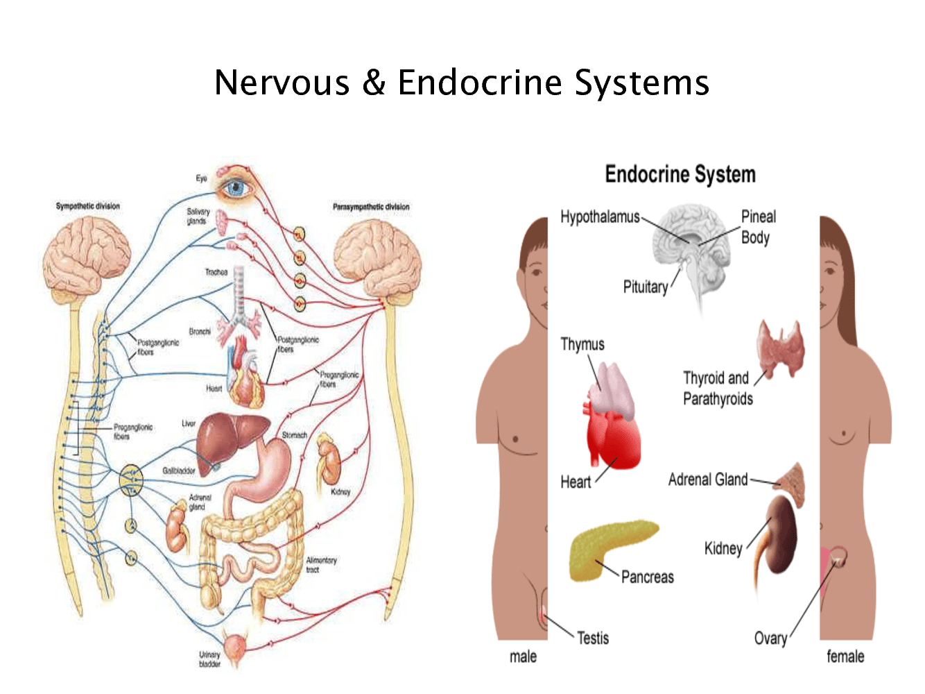 Endocrine System Diagram For Kids