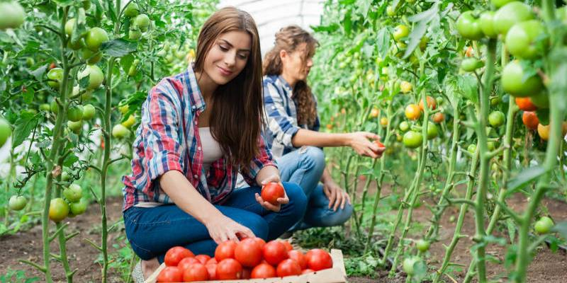 Growing Tomatoes with Hydroponic Systems