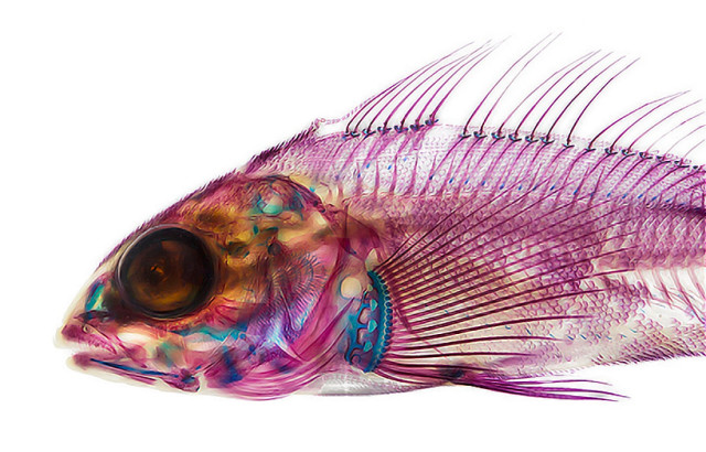 adam-summers-dyes-fish-specimens-to-reveal-their-anatomy-designboom-50-640x410