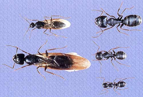 Camponotus Chromaiodes Is Similar To The Black Carpenter Ant But With Red On Back Of Thorax Legs And Front Gaster