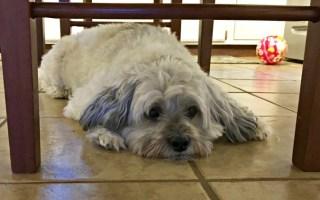 Helping My Dog Battle Hemangiosarcoma – The Worst Canine Cancer