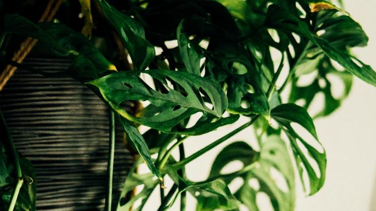 Biljke u dizajnu interijera. Monstera Adansonii osim što je instagramabilna, ima bezbroj pozitivnih utjecaja na kvalitetu života.