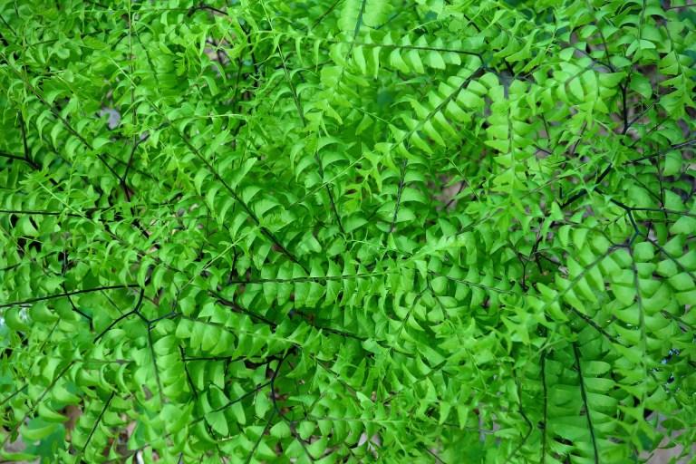 Gospin vlasak - biljke koje vole tamu