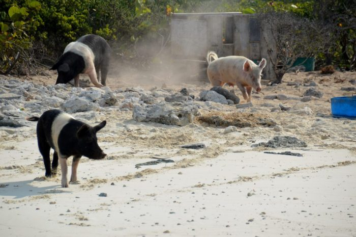 Pigs on the beach in the Bahamas