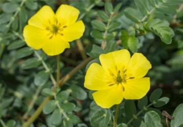 Rastlina zvaná kotvičník zemný má pozitívne účinky na zdravie.