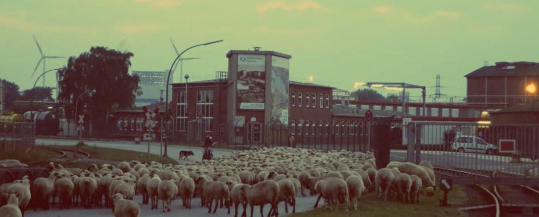 Hamburg Wilhelmsburg. Schafe in Wilhelmsburg