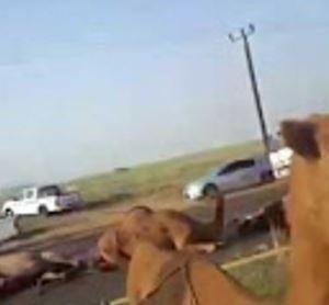بالفيديو.. حادث تصادم مروع بــ قطيع من الابل على طريق سريع