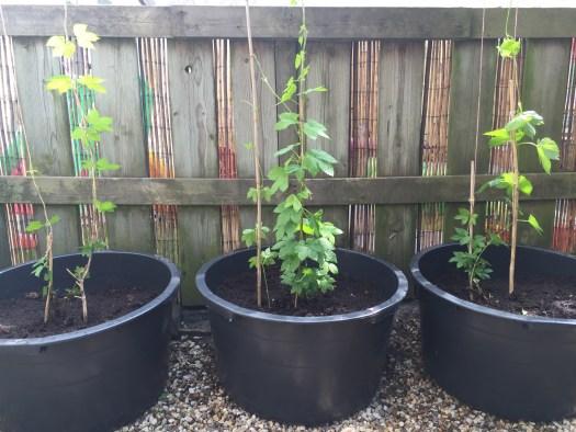 Hopplanten in metselkuip