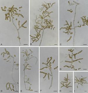 Cladosporium halotolerans