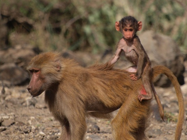 Hamadryas baboon female and infant Photo by Noah Snyder-Mackler