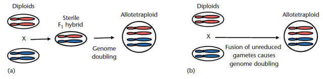Figure 1: (a) Allotetraploid formation through genome doubling of a sterile F1 hybrid between two diploid species. (b) Allotetraploid formation through fusion of unreduced gametes produced by two hybridizing diploid species. Adapted from Abbott and Rieseberg (2012)