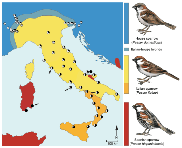 Figure 3. Phenotypic and genetic makeup of the hybrid Italian sparrow. Coloration of the map denotes phenotypic distribution as indicated by the bird drawings to the right of the map (blue: house sparrow, turquoise: Italian-house hybrids, yellow: typical Italian sparrow, orange: Italian sparrows with plumage intermediate between typical Italian and Spanish sparrows, red: Spanish sparrow). Bird drawings indicate species-specific male plumage characteristics of the three taxa [16]. Pie charts denote mean hybrid index at sampling localities where white and black color indicate house and Spanish sparrow genetic contribution, respectively. Locations with evidence of recent gene exchange between Spanish and Italian sparrows are indicated by arrows. Figure and caption courtesy of Trier et al 2014