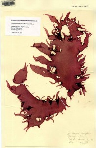 A herbarium specimen of the non-native seaweed Grateloupia turuturu from the Natural History Museum London © S.A. Krueger-Hadfield