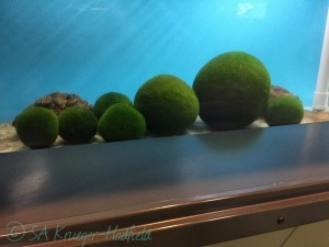 Lake Akan. Each large ball is made up of the green alga Cladophora