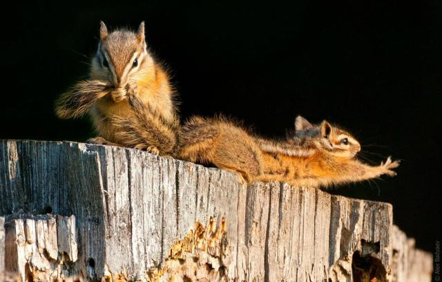 """The Essence of the Yellow Pine Chipmunk"" - Image courtesy Alex Badyaev - www.tenbestphotos.com"