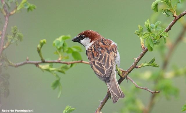 The Italian sparrow, Passer italiae Photo by