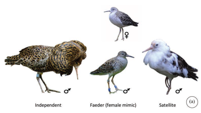 The different morphs in the ruff. Figure from Farrell et al. (2013).