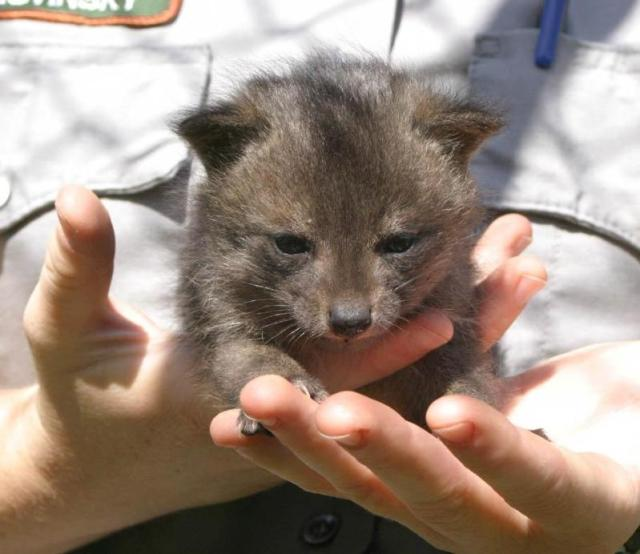 An island fox pup. Image courtesy: NPS (https://goo.gl/1V6tKS)