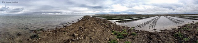 One of our field sites next to oysters