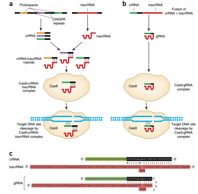Naturally occurring (a) and engineered (b) CRISPR-Cas systems (Figure 3, Sander & Joung 2014)