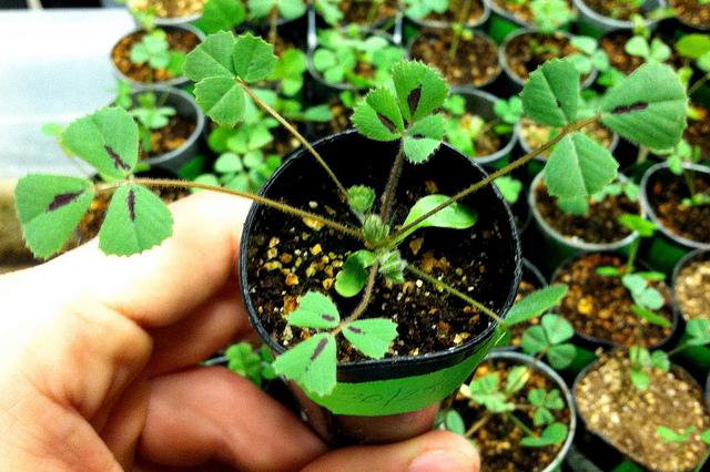 Medicago truncatula, in its model-organism habitat. (Flickr: Jeremy Yoder)