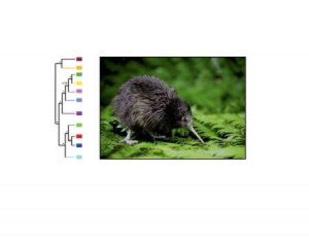 Left: Species tree of genus Apteryx inferred from 1,000 SNPs, with 11 major lineages colored (Weir et al. 2016, PNAS). Right: photo of a juvenile brown kiwi (Apteryx mantelli; photo courtesy of (http://www.nhc.net.nz).