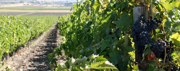 Il Molise e il Tintilia Dop, la storia d'amore tra una Regione e il suo vitigno