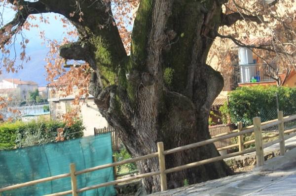 La Grande quercia di Rocchetta a Volturno