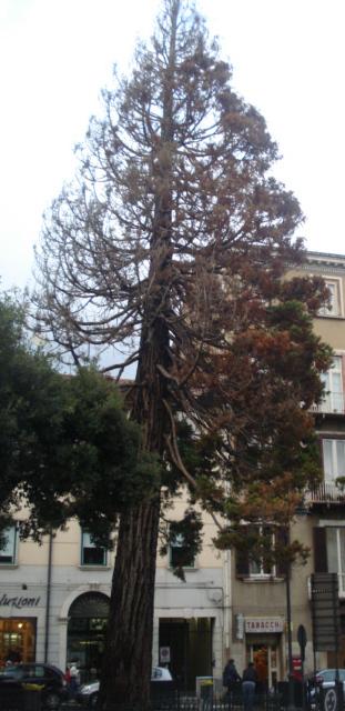 Campobasso metasequoia