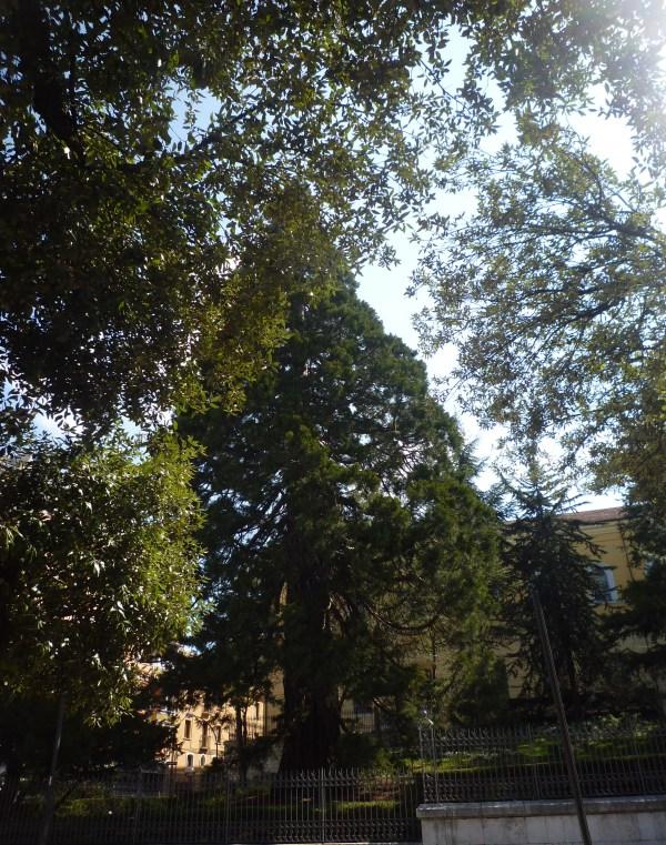 La sequoia al Convitto Mario Pagano