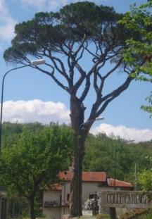 Il Pinus Pinea L. è più alto di un lampione