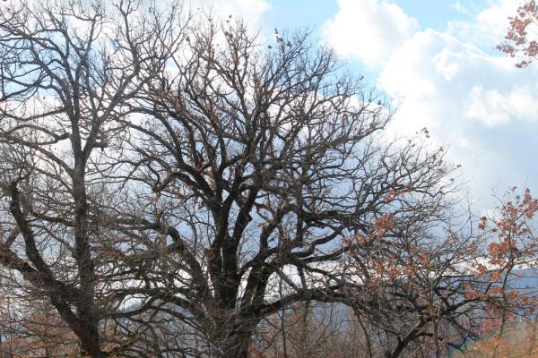 Rocchetta al Volturno, la grande quercia