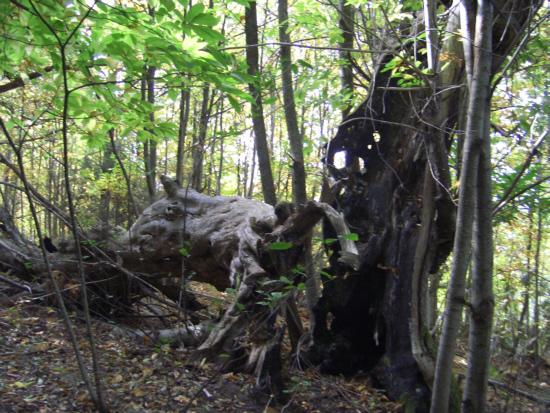 La foto è stata scattata qualche tempo fa e presenta ancora il tronco crollato. Oggi la parte crollata non c'è più. Un libro del 2002 fotografa l'albero ancora integro con 3 persone dentro.