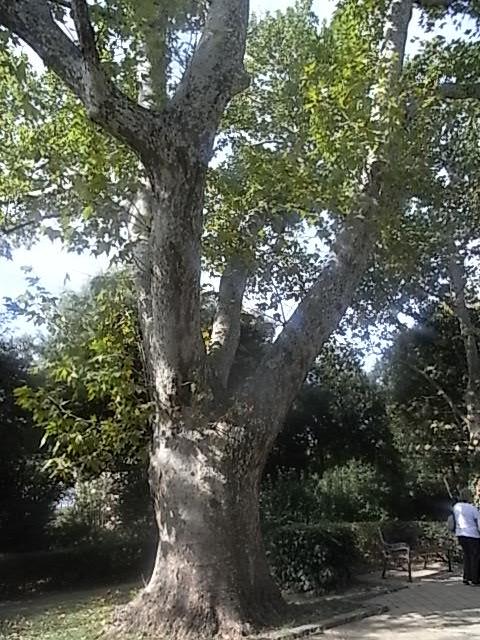 L'albero si trova vicino al viale R.Gessi nel giardino pubblico,veduta d'insieme,platano 300-400 anni 4,5 mt di circonferenza.