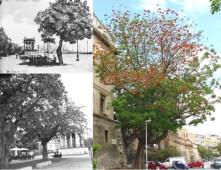 Immagini a confronto del viale di Foro Umberto I con esemplari di E. viarum rispettivamente di fine dell'800 e oggi nel 2007.