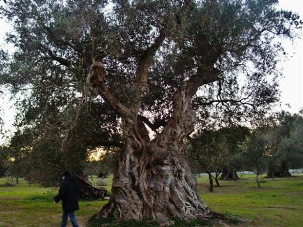 oliveto struda di vernole