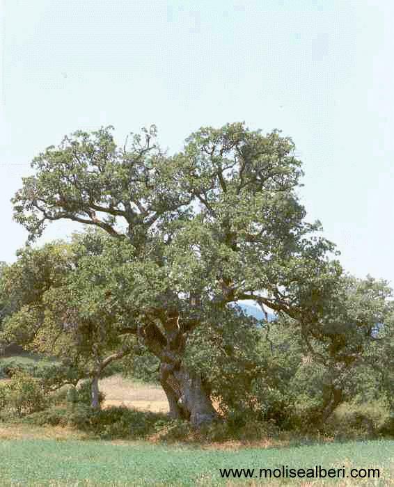Una delle prime querce fotografate da noi di molisealberi