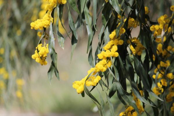 Acaciasaligna