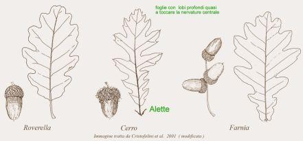 Caratteristiche foglie di quercia