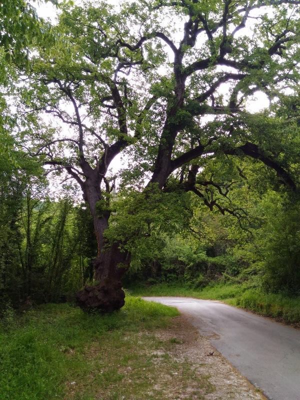 La Grande quercia di Contrada Valle a Filignano