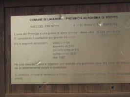 Abete bianco detto del Principe a Malga Laghetto in Trentino